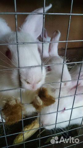 Кролики 89209229101 купить 1