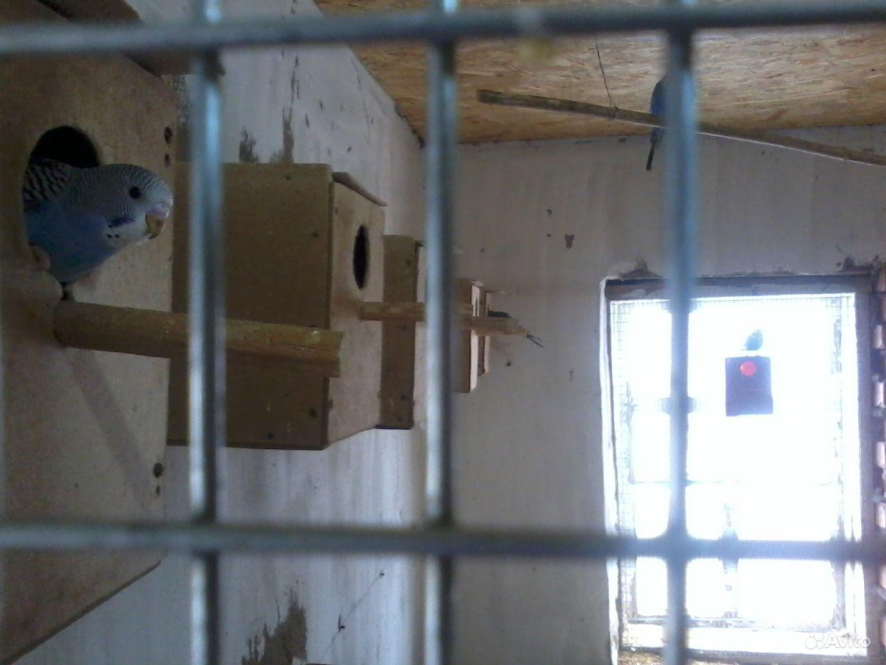 Волнистые попугайчики в Сальске - фотография № 1