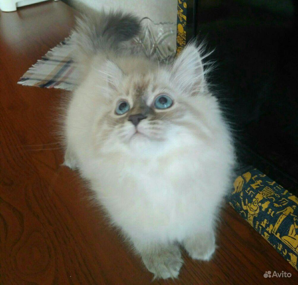 Котята невские маскарадные - фотография № 2