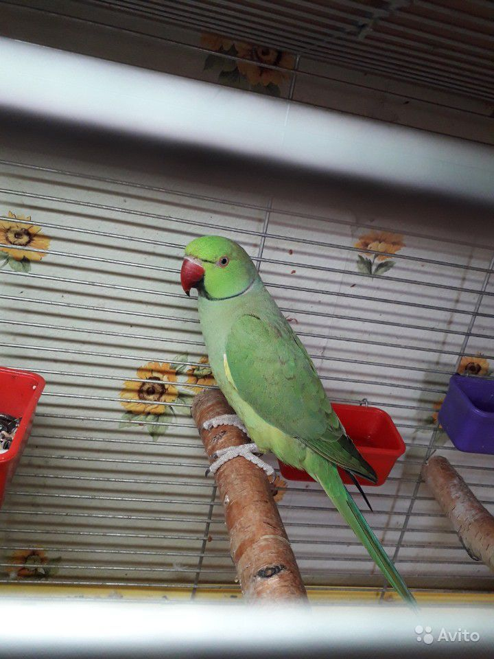 Ожереловый папугай