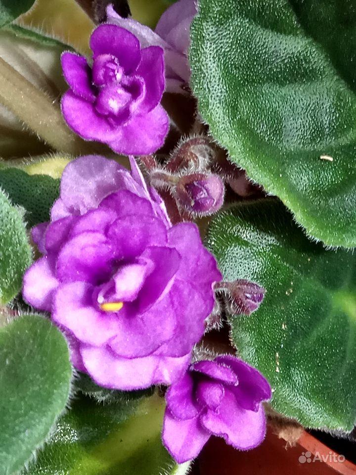 Комнатные растения - кливия и другие растения купить на Зозу.ру - фотография № 4