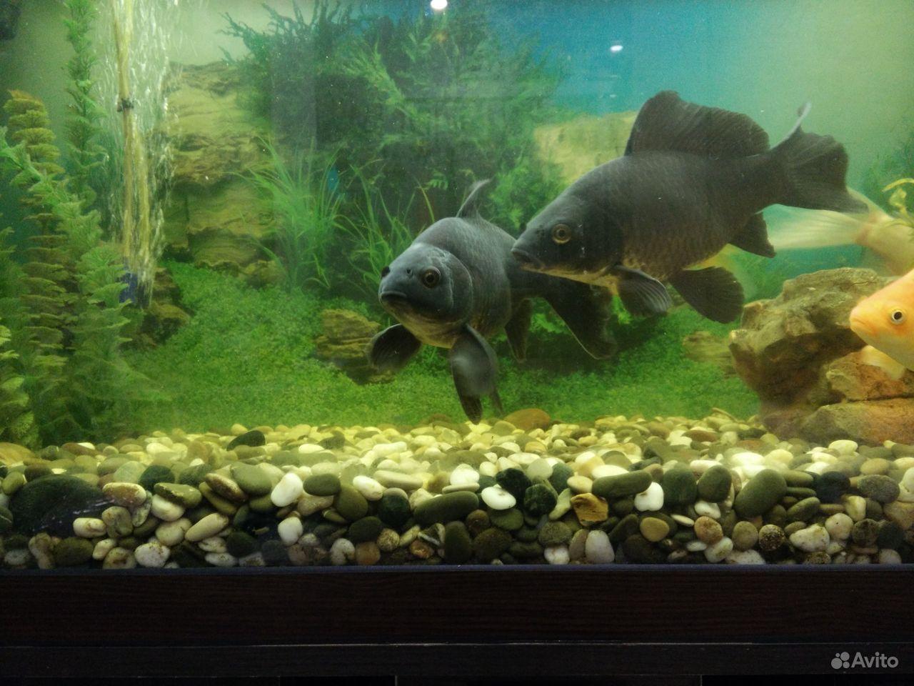 Коллекционные золотые рыбки купить на Зозу.ру - фотография № 3