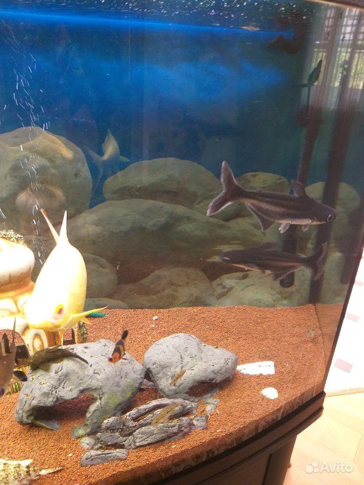 Рыба пангасиус /акулий сом купить на Зозу.ру - фотография № 2