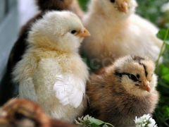 Цыплята бройлеры,несушки,утятя, гусята,петушки,кор