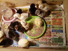 Фазанят,цыплят, недельных