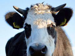 Обмен годовалого быка на тёлку, или на телят