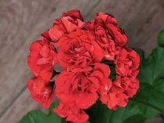 Пеларгония розебудная (герань)
