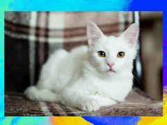 Белосненый котенок