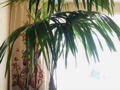 Веерная пальма вида Трахикарпус Форчуна