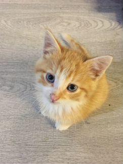 Отдадим рыжего котёнка с голубыми глазами