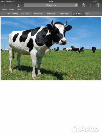 Корова, первотелка