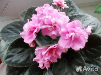 Розово-салатные фиалки фото