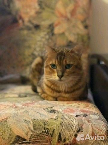 Купить бенгальского кота на авито