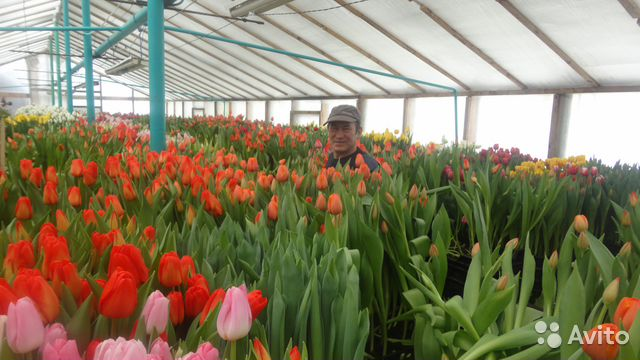Купить тюльпаны оптом к 8 марта в нижнем новгороде доставка цветов в санкт петербурге