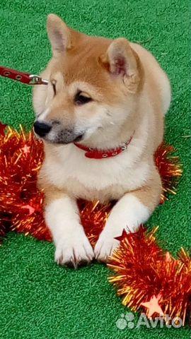 Сиба ину - лучшие щеночки купить на Зозу.ру - фотография № 3