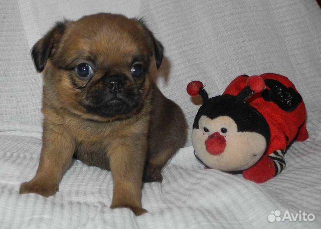 Чудесные щенки пти-брабансон ждут Вас купить на Зозу.ру - фотография № 7