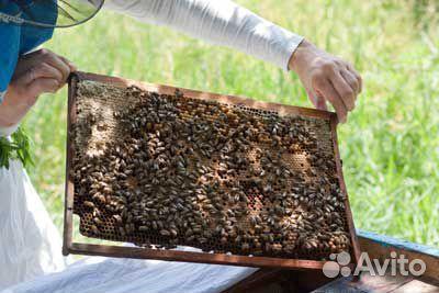 Продаются пчелиные отводки