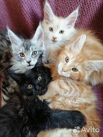 Котята мейн-кун купить 9