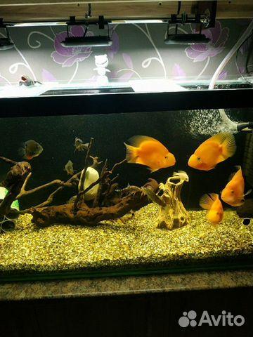 Рыба красный попугай  89967393528 купить 2