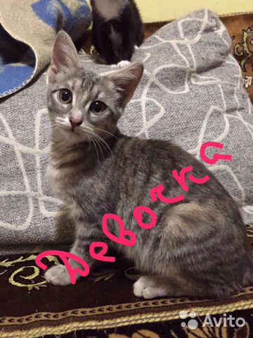 Котенок  89198059866 купить 1