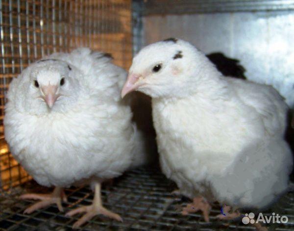 Инкубационное яйцо  89058157333 купить 3