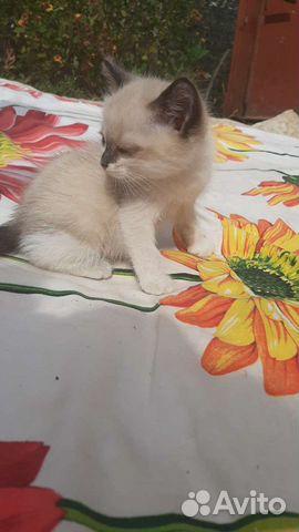 Кошка  89603458880 купить 4