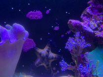 Морская звезда и актиния