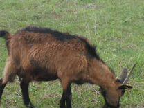 Продам высоко удойных коз
