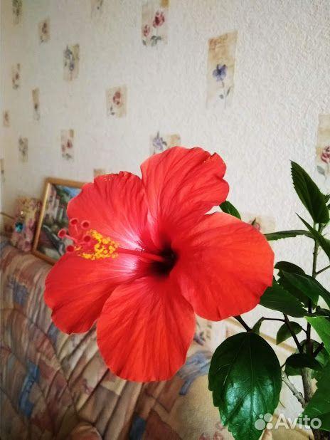 Гибискус (детки и взрослые растения)  89220007860 купить 4