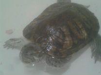 Отдам красноухую черепаху