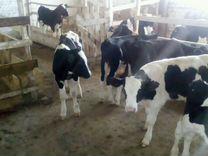 Продаем бычки и телочки от 1 до 5 мес