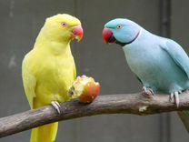 Ожереловые попугаи молодые