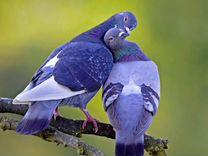 Продам голубей разных