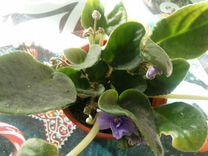 Фиалка сортовая — Растения в Москве