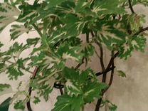 Колеус — Растения в Екатеринбурге