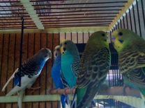 Волнистые попугаи, кореллы