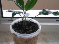 Спатифиллум - отросток-однолетник — Растения в Москве
