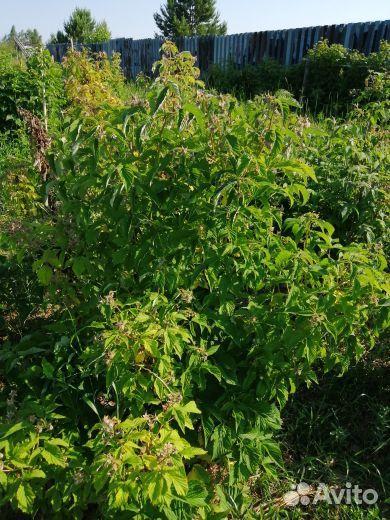 Малиновое дерево Таруса  89042551133 купить 1