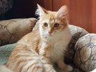 Котенок лесной норвежский рыжий мальчик 4мес приви